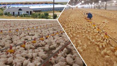 Photo of Қазақстанда құс етін 24 құс фабрикасы шығарады: Күн сайын 800 тоннаға дейін өнім өндіріледі